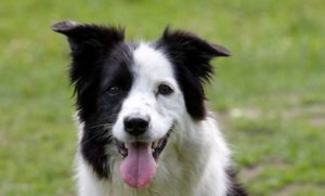 189 year old border collie